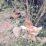 The Chicken Who Behaves Like a Dog