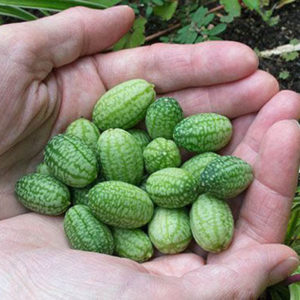Photo: Mexican Sour Gherkins, Courtesy of White Flower Farm