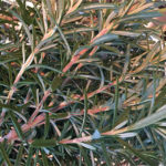 Microwave Fresh Rosemary to Preserve Its Flavor and Color