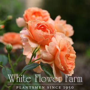 White Flower Farm rose