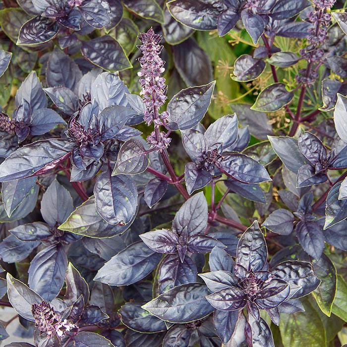 Basil Red Freddy_White Flower Farm