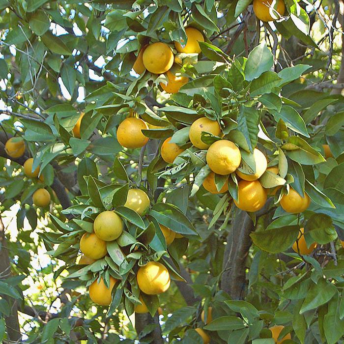Meyer Lemon tree_White Flower Farm