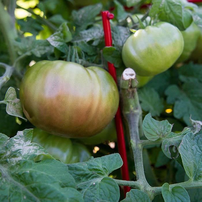 Tomato Purple Reign_White Flower Farm
